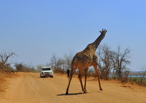 Girafa na estrada